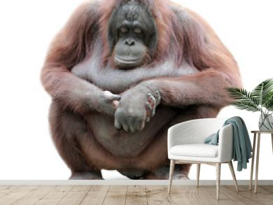 Orang Utan sitting on whiteboard background
