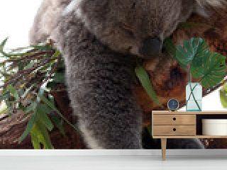 Koala hängt im Baum