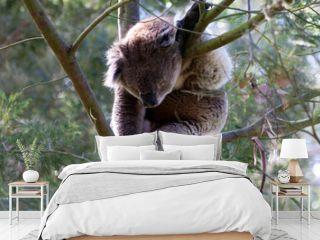 Koala klettert auf Baum
