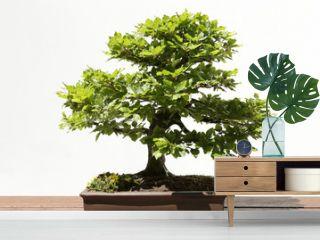 European or Common Beech (Fagus sylvatica) bonsai on a wooden table