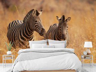 Two zebras in long grass