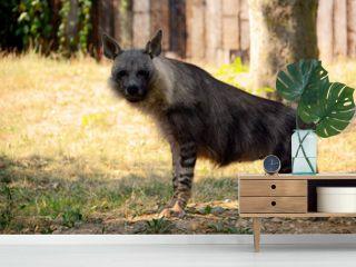 Brown hyena.
