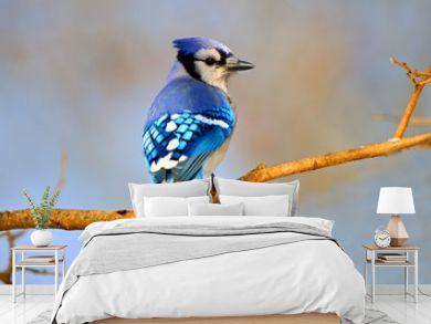 Blue Jay sitting on Branch