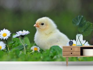 Young chicken