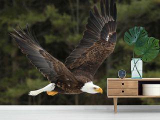 A Bald Eagle (Haliaeetus leucocephalus)
