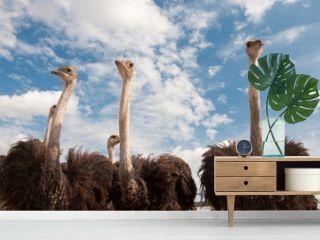African ostriches