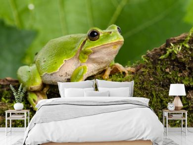 European green tree frog lurking for prey in natural environment