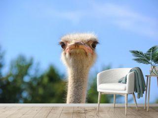 Cute stern look ostrich