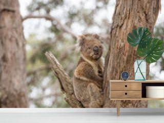 Wild koala on a tree