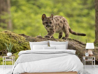 Puma/Cougar