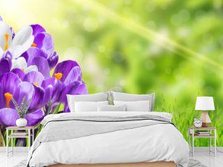 Beautiful Spring Crocus Flowers