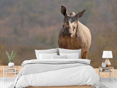 A White Rhinoceros calf (Ceratotherium simum simum) in Kruger National Park, South Africa