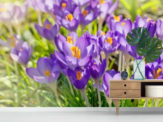 Crocus flowers, spring background
