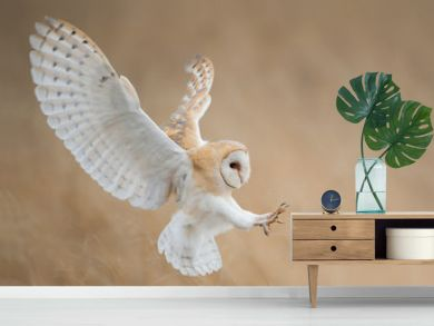Barn owl in flight just before attack, with open wings, clean background, Czech Republic, Europe