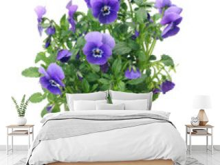 Pansies in a pot on a white background