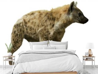 Spotted hyena on white
