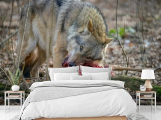 eating gray wolf in the forest