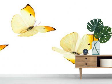 Yellow Butterflies (Anteos Menippe).