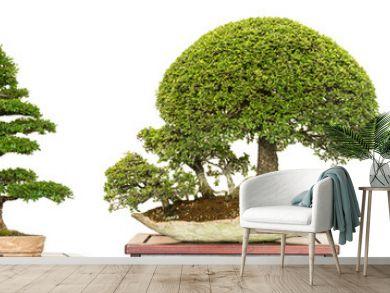 Bonsai Baum als Ulme aus China (Ulmus parvifolia) im Panorama