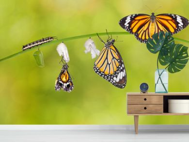 Transformation of common tiger butterfly emerging from cocoon