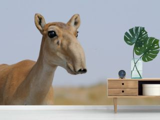 Portrait of Wild Saiga antelope in Kalmykia steppe