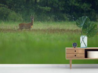 Roe deer male on the magical green grassland, european wildlife, wild animal in the nature habitat, deer rut