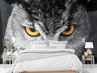 Black and white image of angry and focused owl with bright yellow eyes staring at its prey.