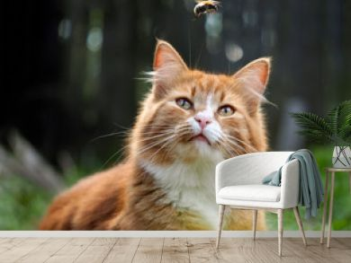The cat is watching the flight of the bumblebee. Cat large, red and fluffy. Conceptually - animals outdoor recreation. Cat hunts for insects. Insect bites and allergies in animals
