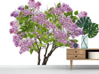 tree lilac blossom isolated on white