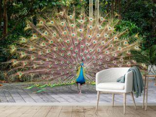 Beautiful spread of a peacock