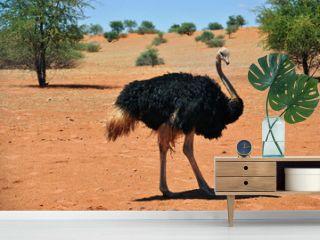 Female ostrich in Africa