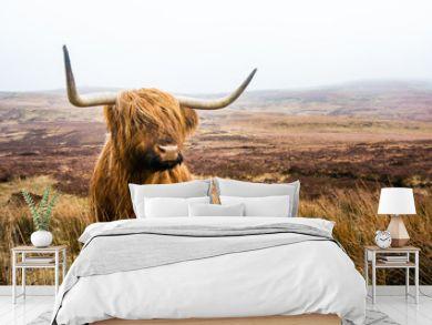 scottish highland cow in field. Highland cattle. Scotland