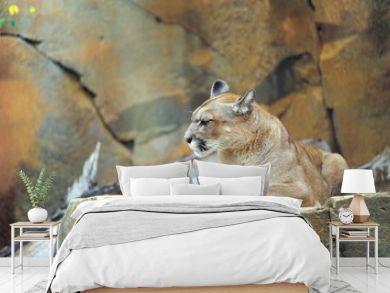 Puma (Puma concolor)/ Cougar/ Mountain Lion/ Berglöwe ruht auf einem felsen, Zoo am Meer, Bremerhaven, Deutschland
