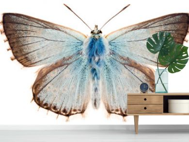 The butterfly Chalkhill blue or Polyommatus coridon. Beautiful blue butterfly family Lycaenidae isolated on white background, dorsal view of butterfly.
