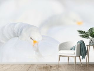 Art view of swans. Whooper Swan, Cygnus cygnus, bird portrait with open bill, Lake Kusharo, other blurred swan in the background, winter scene with snow, Japan