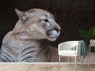 portrait a puma against stone texture