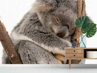 Koala schläft auf einem Ast
