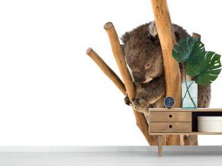 Australian koala on the tree isolated