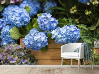 Blue hydrangea in a garden