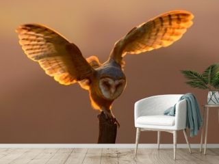 Evening light with bird with open wings. Action scene with owl. Owl sunset. Barn owl landing with spread wings on tree stump at the evening. Bird with orange evening light. Owl with orange sunset.