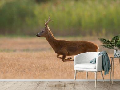 Roe deer buck is running