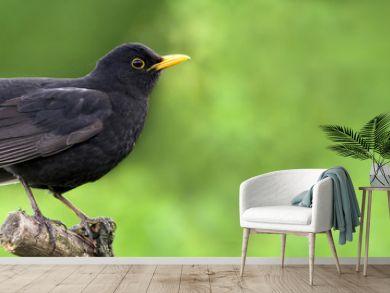 Website banner of a beautiful blackbird as sitting on a branch