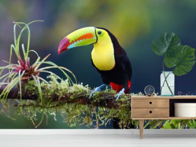 Keel-billed toucan perched on a moss covered branch in the jungles of Costa Rica