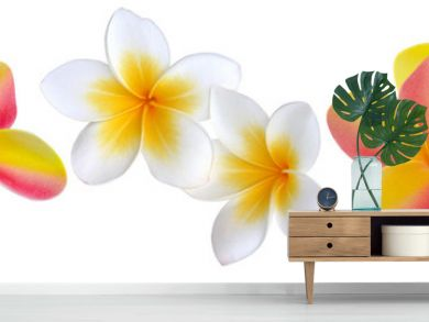 fleurs de plumeria, frangipanier, fond blanc