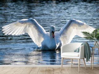 Swan spreading its wings