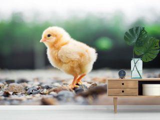 A little chicken in garden