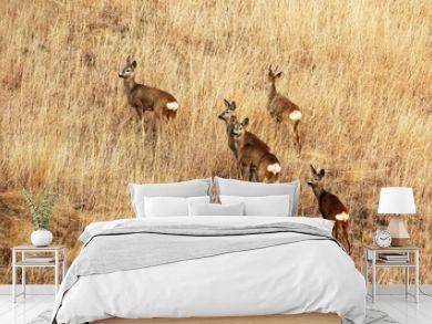 roe deers in faded grass