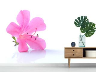 Japanese pink azalea flower isolated