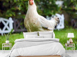 Funny runnigh chicken in bio farm