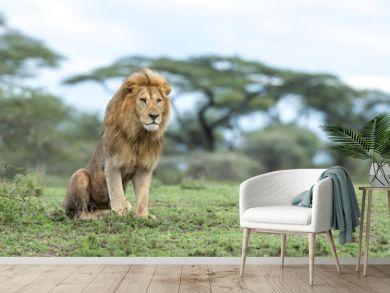 Adult Male Lion in the Ndutu Area of Tanzania